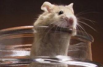 Можно ли купать хомячка в воде