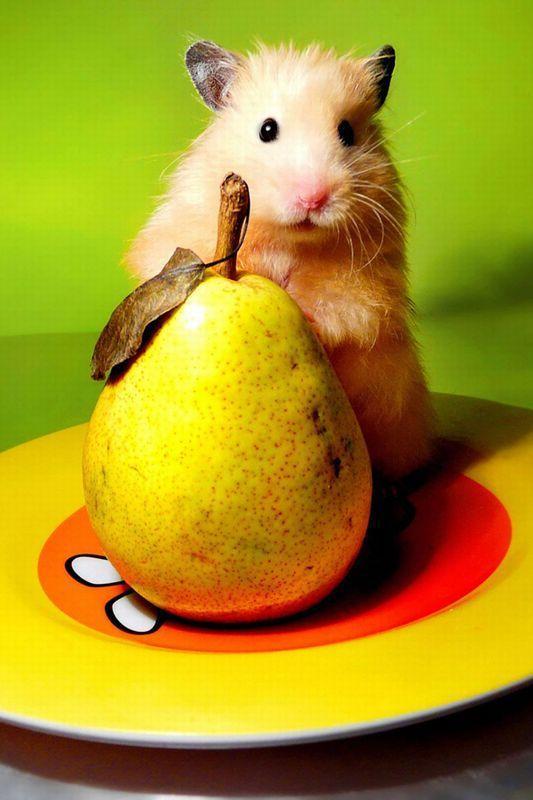 можно ли грушу сирийскому хомяку