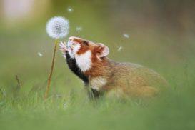 Дикий хомяк карбыш - фото, описание, как живет в дикой природе