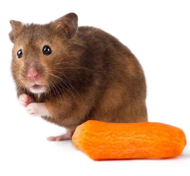 можно ли давать хомяку морковку