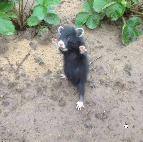 черный дикий хомяк фото
