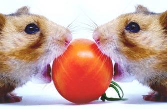 можно ли томат грызунам