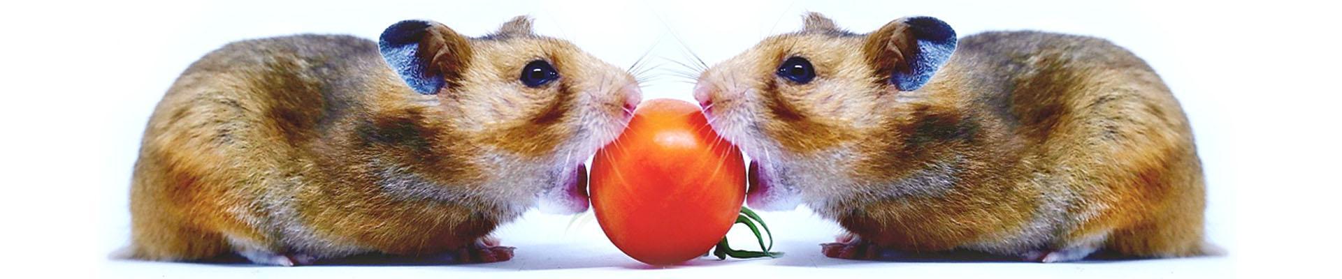 Можно ли хомякам помидор