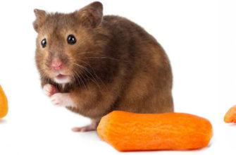 Можно ли морковку сирийцам и джунгарикам