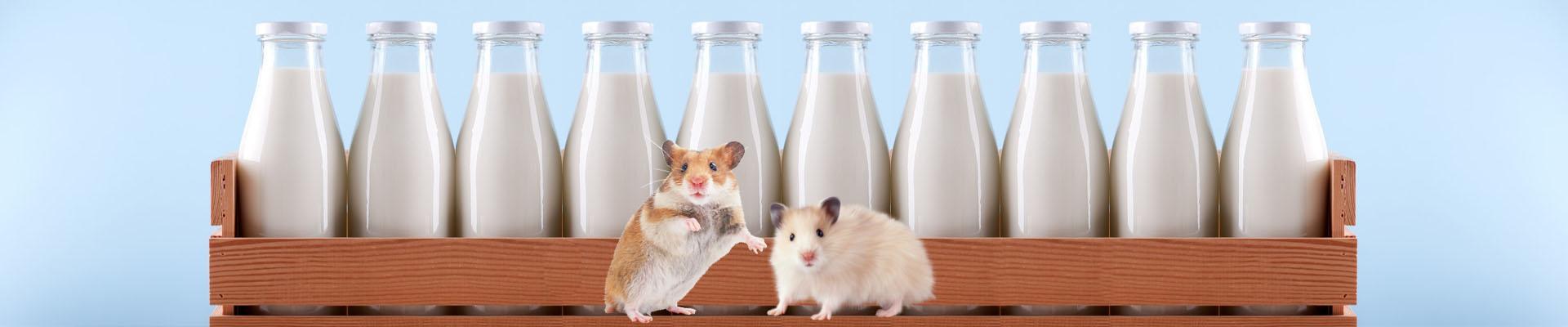 Можно ли хомякам молоко, творог и вообще кисломолочные продукты