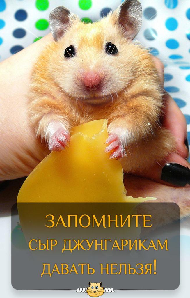 Джунгариков кормить сыром нельзя