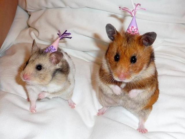 счастливая хомячья пара