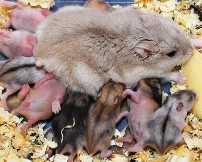 Берменная хомячиха джунгарик с новорожденными