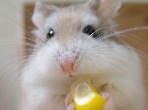 Можно ли хомяку лимон