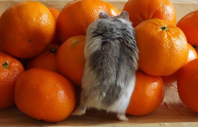 можно ли давать хомячку мандарин
