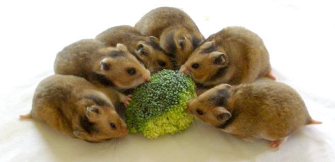 Можно ли давать джунгарским хомякам капусту