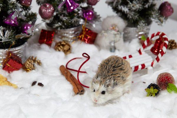 Новогодние хомяки пришли за подарками