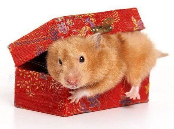 Новогодние хомяки фото в коробке